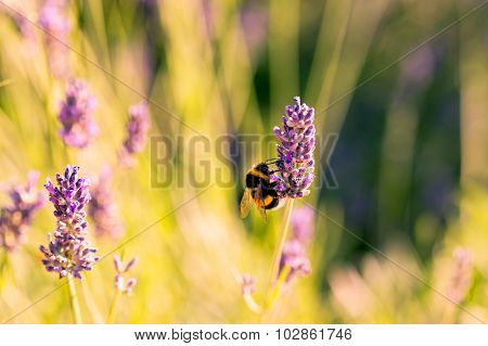 Bumblebee On A Fragrant Bed Of Lavender