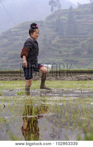 Asian Farmer Girl Walks Barefoot Through Mud Of Paddy Fields.