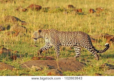 An African Leopard walking on the open plains