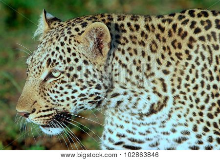 Close up of an African Leopard
