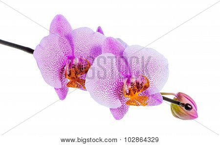 Blooming Beautiful Twig Of Lilac Spotted Orchid, Phalaenopsis Is Isolated On White Background, Close