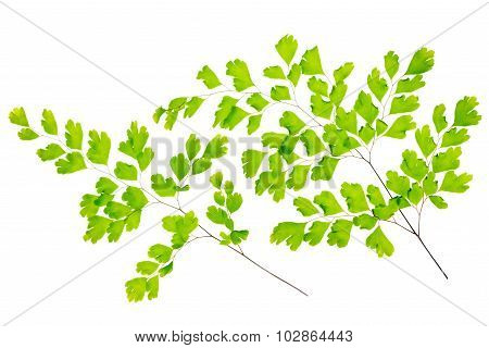 Maidenhair Fern Leaves Is Isolated On White Background