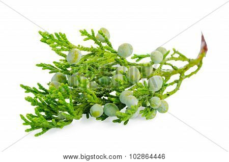 Juniper Plant With Berries Is Isolated On White Background, Closeup