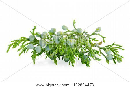 Beautiful Juniper Plant With Berries Is Isolated On White Background, Closeup