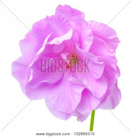 Beautiful Blooming Lilac Geranium Flower With Green Leaves Is Isolated On White Background. Pelargon