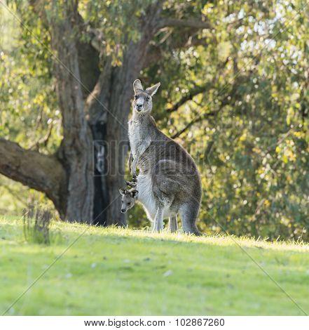 Kangaroo mother with baby joey