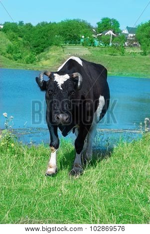 Black Cow With White Spots