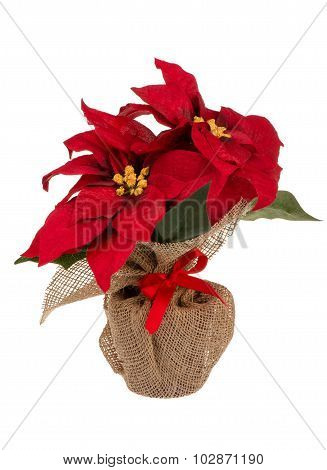 Artificial red poincettia flower in pot wrapped in sackcloth isolated.