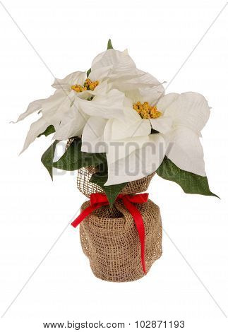 Artificial white poincettia flower in pot wrapped in sackcloth isolated.