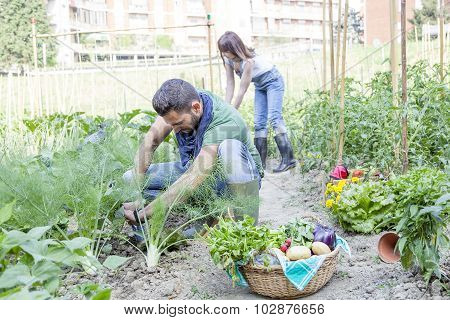 young couple collects vegetables in the garden