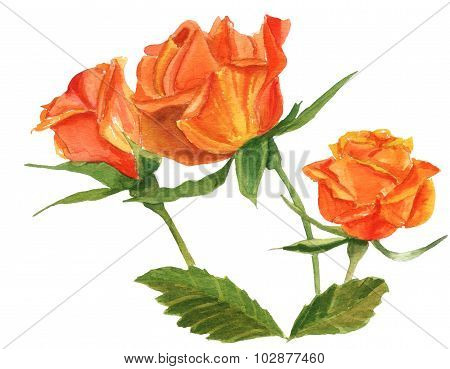 A vintage-styled watercolour drawing of a tea rose on white background