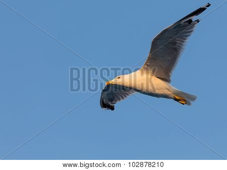 Yellow-legged gull (Larus michahellis) in blue sky background