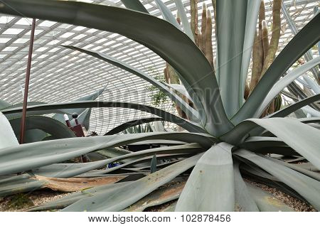 Close Up Of Huge Agave Plants