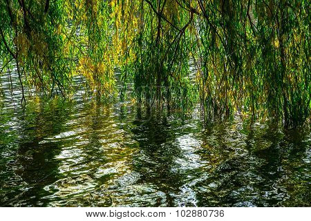 Willow Branches Under Water In Autumn