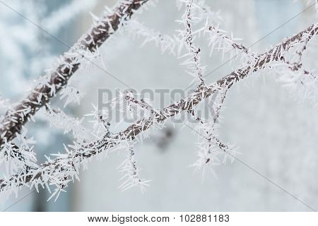 Branch With White Hoarfrost In Winter Day