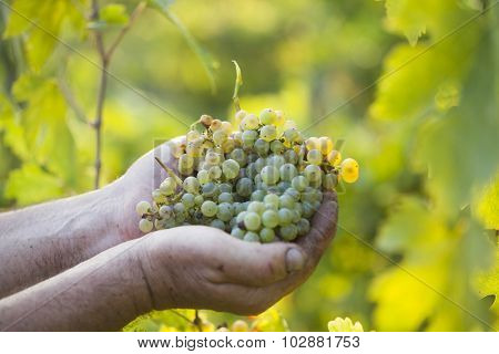Grapes harvest. Farmers hands with freshly harvested grapes.
