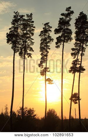 beautiful tall pine trees at sunset