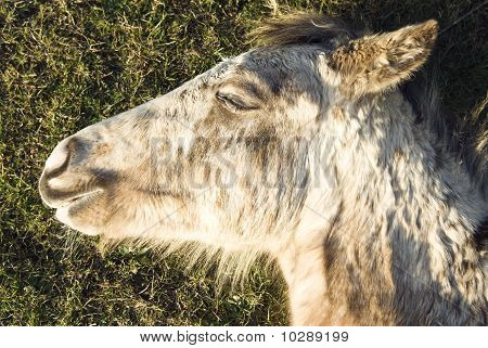 Beautiful appaloosa foal sleeping