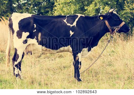 Cow Standing In A Meadow