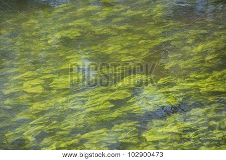 Algae in the clean river