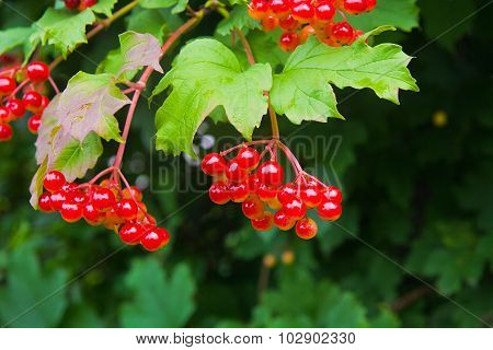 Close Up Of Bunch Of Red Berries Of A Guelder Rose Or Viburnum Opulus Shrub.