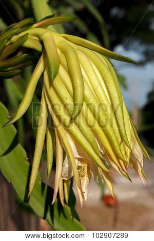 Flower Of Dragon Fruit,trunk And Blur Background.