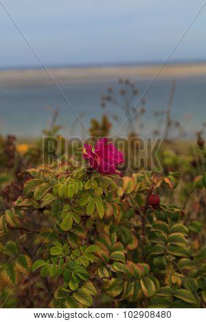 Wild roses on Cape Cod