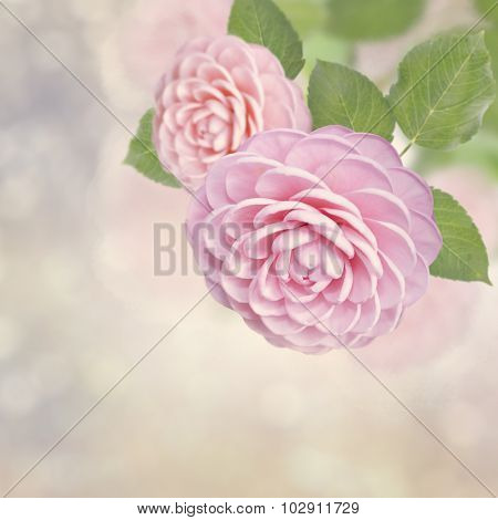 Blossom of Beautiful Pink Roses