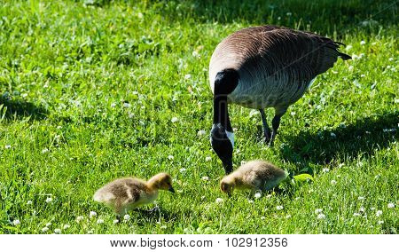 Single Canada Goose With Two Goslings In Grass