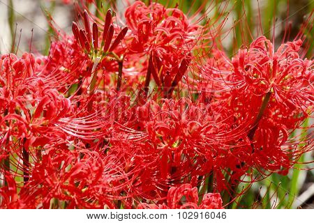 Red spider lily, cluster amaryllis