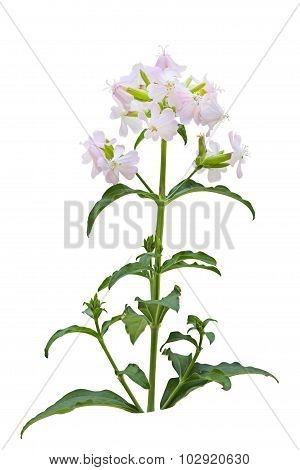 Soapwort Wildflower