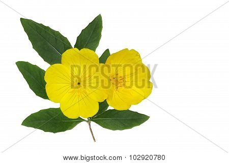 Yellow Evening Primrose