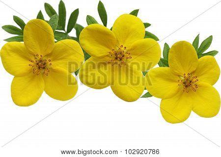 Yellow Monrovia Potentilla