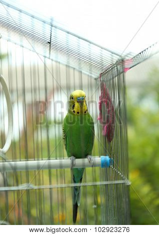 Cute colorful budgie in cage, outdoors