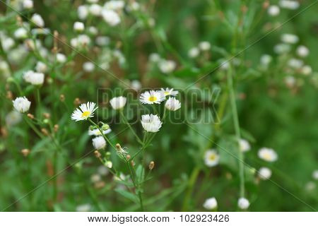 Fresh chamomile flowers over green grass background