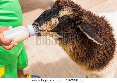Child Feeding Milk Bottle To Cute Sheep
