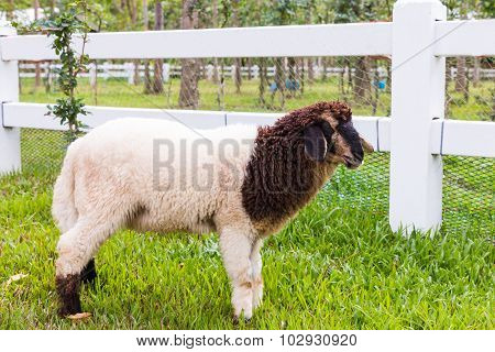 Sheep Standing On The Grass, White Picket Fence And Nature Background.