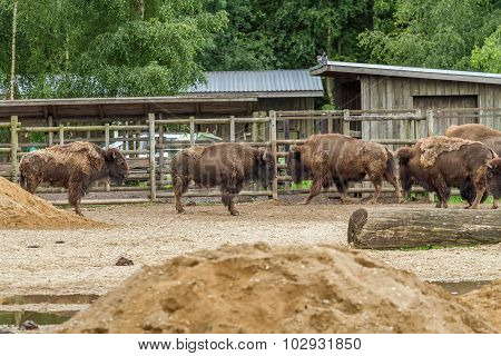 Bison Live In The Zoo