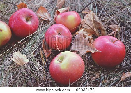 Few red apples are on the dry grass among the fallen autumn leaves, vintage colors