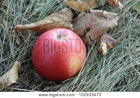 Red apple is on a dry grass among the fallen autumn leaves