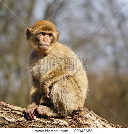 Barbary Macaque, The Netherlands