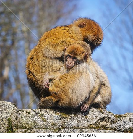 Barbary Macaque With  Cub; Netherlands
