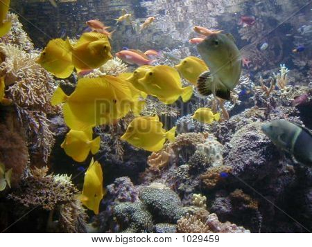backlit underwater view of schooling aquarium fish and yellow tangs