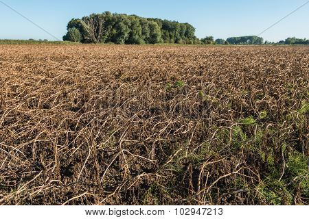 Dried Brown Potato Tops On A Large Field