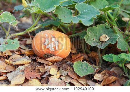 Pumpkin On Garden Bed