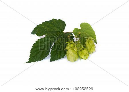 Hops Isolated On A White Background.