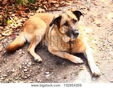 Big Stray Dog Lay On The Autumn Ground