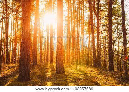 Sunset Sunrise In Atumn Coniferous Forest Trees. Nature Woods