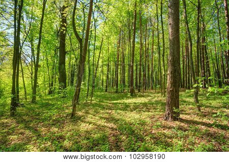 Green Deciduous Forest Summer Nature. Sunny Trees Woods
