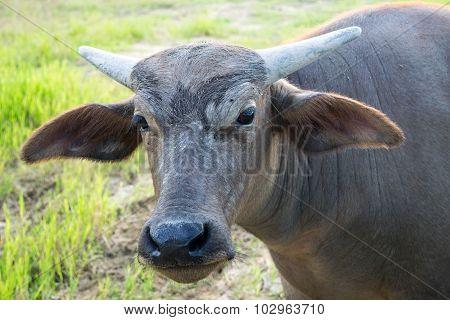 Close up Head Little buffalo it looking camera